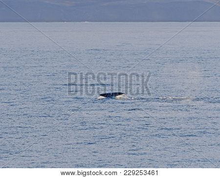 Bowhead Whale Flukes In The Arctic In Isabella Bay Of The  Ninginganiq National Wildlife Area On Baf