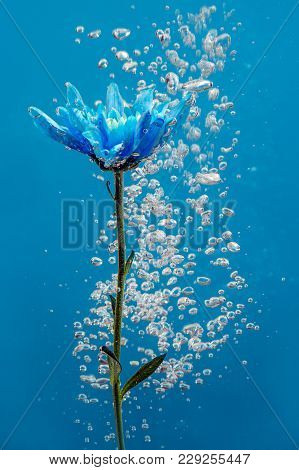 Blue Chrysanthemum Inside In Water On A Blue Background. Flowers Aster Under The Water With Bubbles