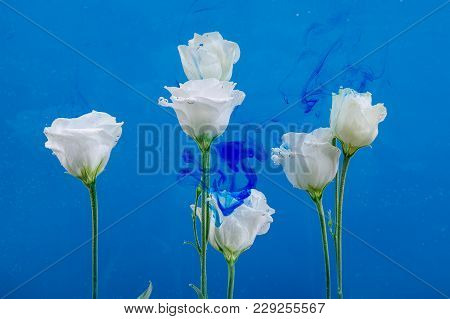 White Roses Inside In Water On A Blue Background. Flowers Under The Water With Acrylic Blue Paints.