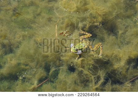 Green Frog With Bubble Swimming In Water With Algae.