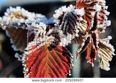 Dried Red Raspberry Leaves Covered In Hoar Frost.