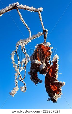 Hoar Frost Covered Grape Vines Against A Blue Sky.