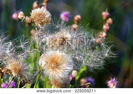 Closeup Of Fluffy Canada Thistle Heads On A Green Background.