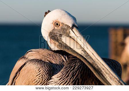 Close-up View Of The Face Of A California Brown Pelican (pelecanus Occidentalis Californicus).
