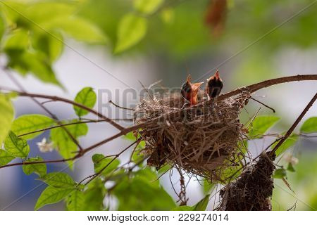 Bulbul Chicks In The Nest On Tree Branch. Bulbul Is A Local Bird In Thailand.