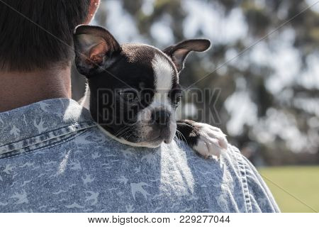 Boston Terrier Puppy, Calm, Resting On Male Owner Shoulder Outdoors, Peaceful And Cute Contented Pup