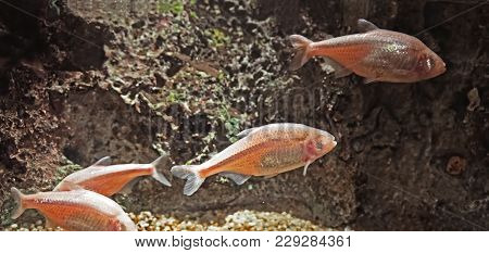 Blind Cave Fish Or Mexican Tetra Isolated On Nature Background