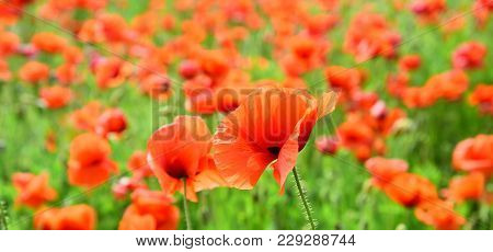 Summer And Spring, Landscape, Poppy Seed. Poppy Flower Field, Harvesting. Remembrance Day, Anzac Day
