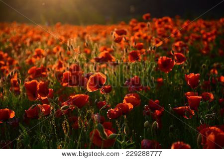 Poppy Flower Remembrance Day, Red Flower Field, Narcotics