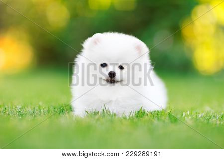 Adorable White Pomeranian Puppy Sitting In The Grass. High Resolution Photo.