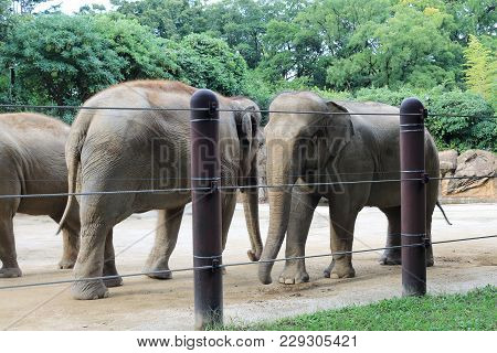 Elephants Walking In The Oldest Japanese Zoo