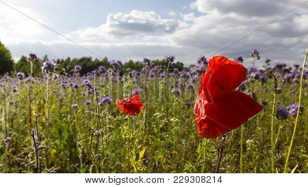Poppies And Cornflowers Meadow In The Late Afternoon, Backlit Photograph. Lüneburger Heide, Germany