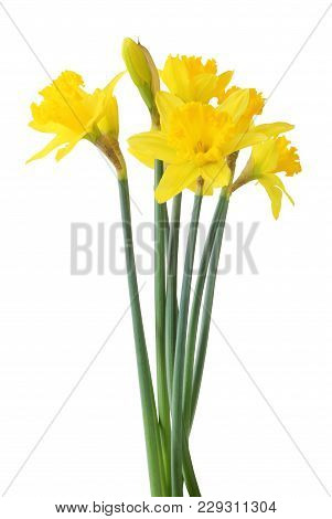 Lovely Narcissus (narzissen, Narcissus, Amaryllidaceae) Isolated On White Background, Inclusive Clip