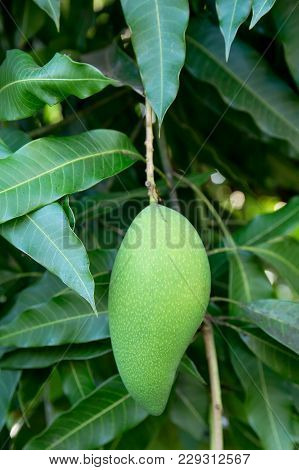 Unripe Green Mangoes Hanging From A Mango Tree