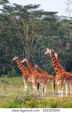 Few Giraffe In Nakuru Park. Nakuru, Kenya