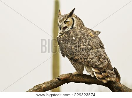 A Great Horned Owl, Bubo Virginianus, Perched Against A White Sky