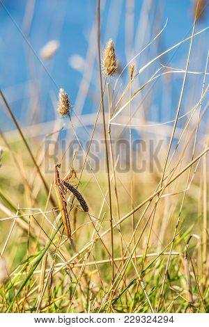 Brown Colored Adult Male European Mantis Camouflaged In Brown Dried Grass On The Bulgarian Sea-shore