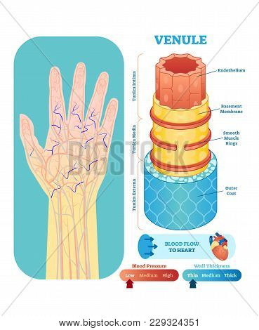Venule Anatomical Vector Illustration Cross Section With Tunica Externa, Media And Interna. Circulat