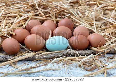 Close Up View Of A Single Blue Egg With Natural Brown Raw Eggs Resting On Straw And Burlap With Whit