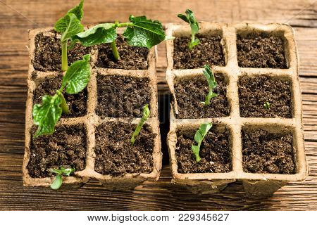 Seedlings In Peat Pots.baby Plants Seeding, On Wooden Background