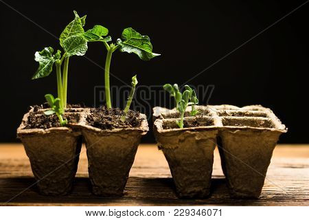 Seedlings In Peat Pots. Baby Plants Seeding, Old Wooden Table, Black Background