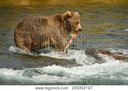 Mama-bear With Catched Salmon Fro Her Babies, Alaskan Bears, Salmon Hunting In Katmai National Park,