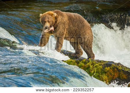 Alaskan Bear With Catched Fish On Brooks Falls, Katmai National Park, Fishing In Alaska, Bear At Fam