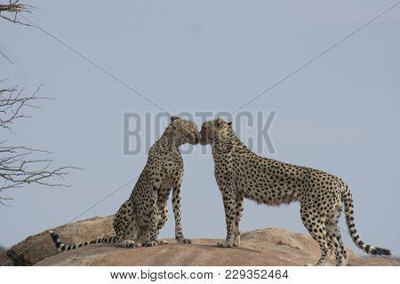 Cheetah( Acinonyx Jubatus) Duma In Samburu  National Reserve Kenya.