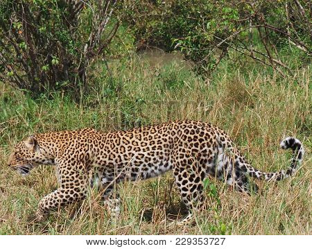 A Leopard ( Panthera Pardus) Chui In Swahili.