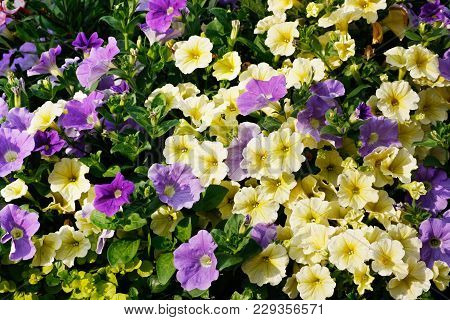 Summer Garden Backgroung With Many Flowers Of Ivory And Purple Petunia.