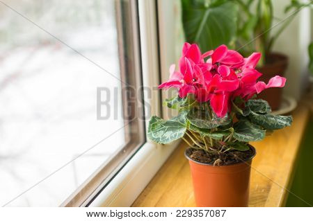 Cyclamen. Care For House Plants. Diseases Of Alpine Violets