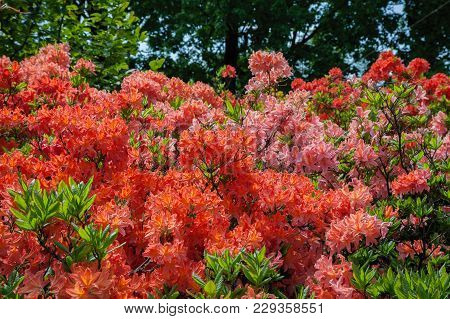 Beautiful Rhododendron Bush In Summer Garden At Day.