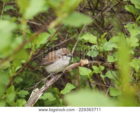 A Nestling Of The Red-backed Shrike, Lanius Collurio, On A Branch Among The Leaves. The Touching You