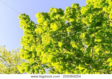 Linden Tree Lime Tree. Linden Leaves Bright Green On Blue Sky As Background