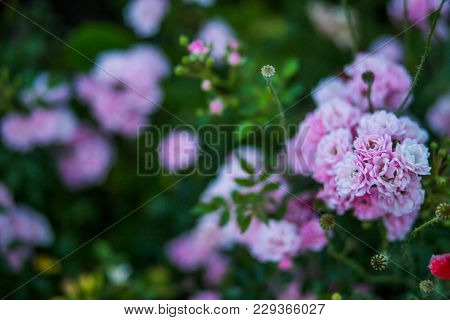 Rosarium With Pink Roses On Flower Bed. Background Of Many Roses. Copy Space