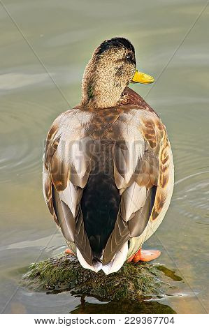 The Back Of Juvenile Male Duck Starting To Molt.