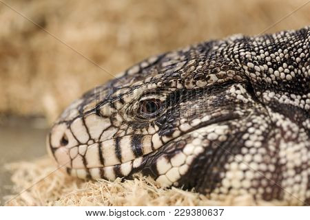 Big Adult Tegu, Close-up Portrait. Black And White Tegu, Also Called Salvatot Merianae Or Argentine