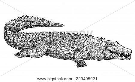 Saltwater Crocodile Illustration, Drawing, Engraving, Ink, Line Art