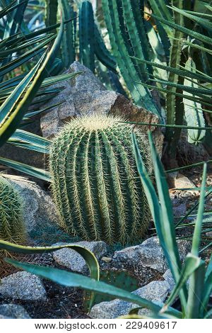 A Large Oval Cactus With Long Thorns That Grows On Stony Ground
