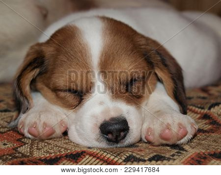 View Of Crossbreed Puppy, South Bohemia, Czech Republic