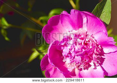Beautiful Flowers, Peonies.closeup Of Beautiful Pink Peonie Flower.