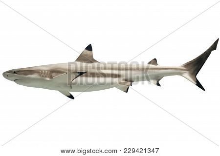 Side View Of Australian Blacktip Shark, Carcharhinus Tilstoni, Isolated On White. Is A Species Of Re