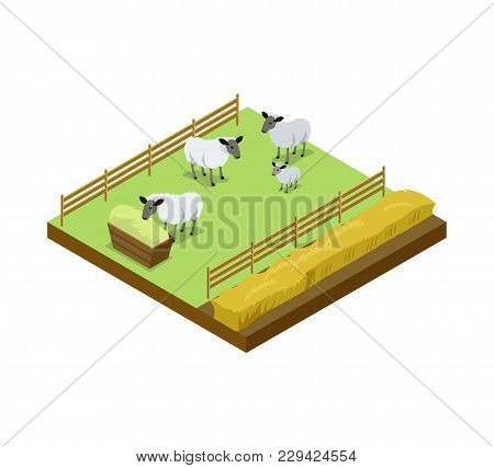 Sheep Breeding On Ranch Isometric 3d Element. Natural Farming, Traditional Agribusiness Isolated Vec