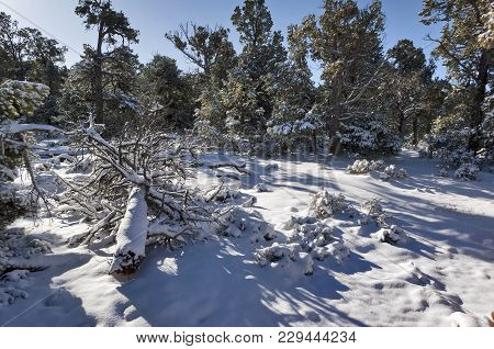 The Kaibab Forest On The South Rim Of The Grand Canyon In The Grip Of Winter.