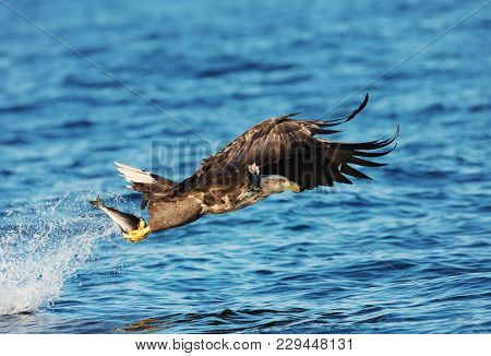 White-tailed Sea Eagle (haliaeetus Albicilla) With A Fish In The Claws, Norway.