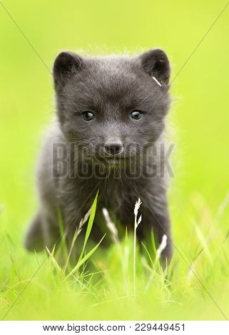 Close Up Of An Arctic Fox Cub In The Grass Field, Iceland.