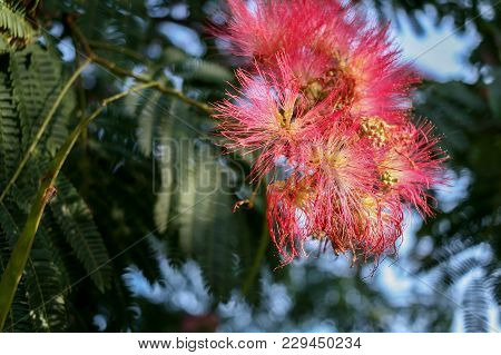 Close-up A Sunlit Beautiful Pink Flowers Of A Blooming Acacia.