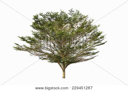One Ivory Coast Almond Tree Isolated On White Background.