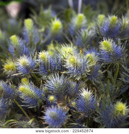 The Striking Blue Eryngium - Sea Holly As A Background