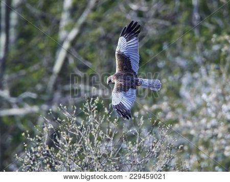 Western Marsh Harrier In Flight With Vegetation In The Background